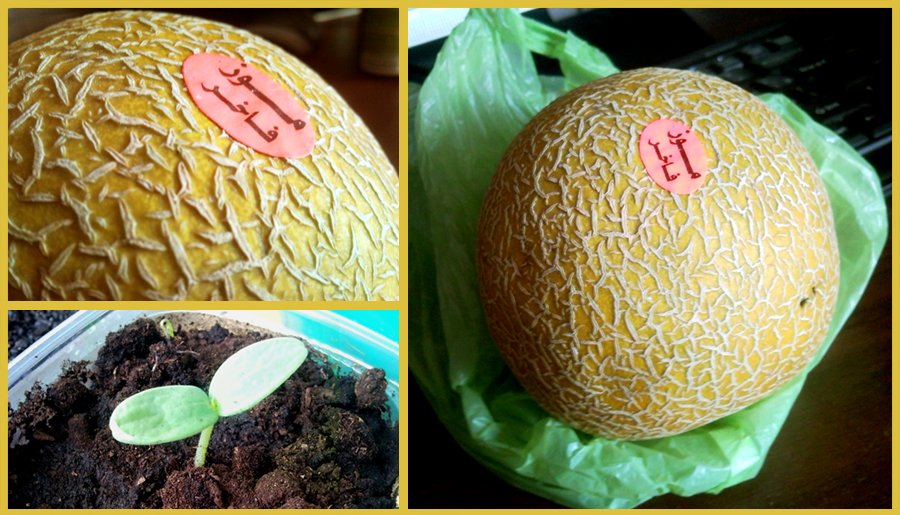 dinya-iz-Egipta-melon-from-Egypt